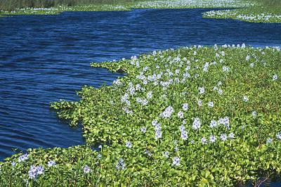 Photograph - Water Hyacinths by Richard Hansen