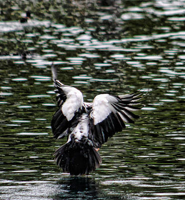Photograph - Water Landing by Pamela Walton