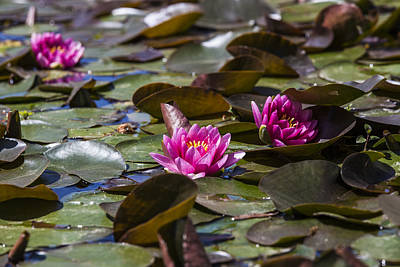 Photograph - Water Lilies by Amber Kresge