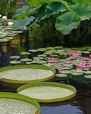 Photograph - Water Lilies And Platters And Lotus Leaves by Byron Varvarigos