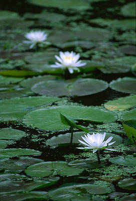 Photograph - Water Lilies by Byron Jorjorian