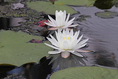 Spring Photograph - Water Lilies by Cathy Lindsey
