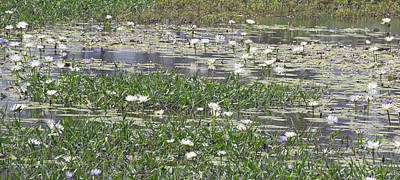 Photograph - Water Lilies by Gordon  Grimwade