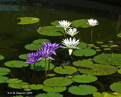 Photograph - Water Lilies In Bloom by Allen Sheffield