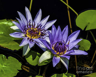 Photograph - Water Lilies In The Garden by Nick Zelinsky