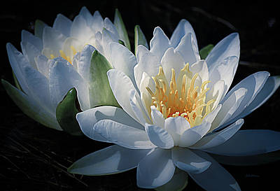 White Water Lily Photograph - Water Lilies In White by Julie Palencia
