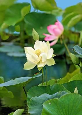 Photograph - Water Lilies by Jane Girardot