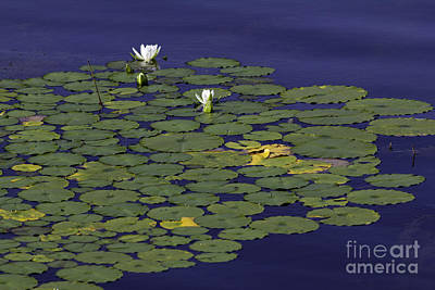 Art Print featuring the photograph Water Lilies by Les Palenik