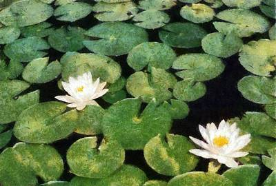 Torch River Photograph - Water Lilies by Michelle Calkins