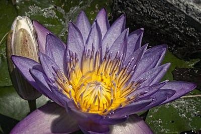 Photograph - Water Lilies by Miguel Winterpacht