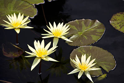 Lilies Photograph - Water Lilies by Nancy Dinsmore
