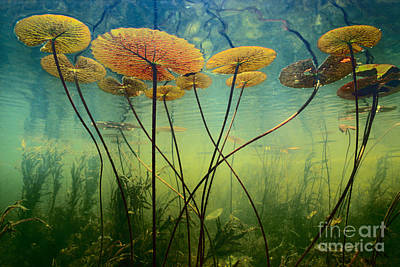 Photograph - Water Lilies by Frans Lanting MINT Images