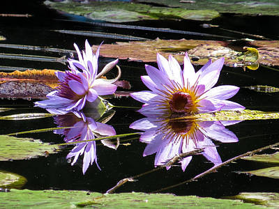 Waterlily Photograph - Water Lilies On The Sun by Zina Stromberg