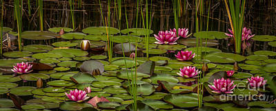 Photograph - Water Lilies by Patti Raine