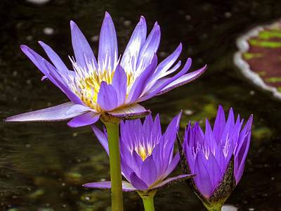 Flower Photograph - Water Lilies by Zina Stromberg