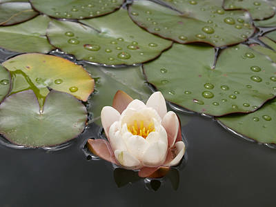 Art Print featuring the photograph Water Lilly by Haleh Mahbod