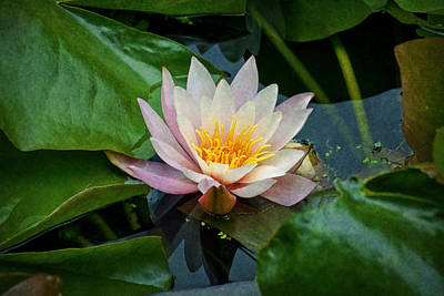 Photograph - Water Lilly by Ian Mitchell