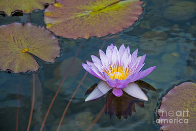 Photograph - Water Lilly by Kelly Morrow
