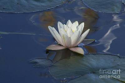 Photograph - Water Lilly On Blue by Steven Parker