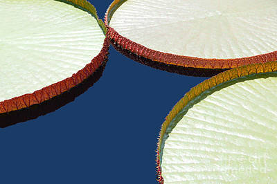 Water Lilly Platters Art Print