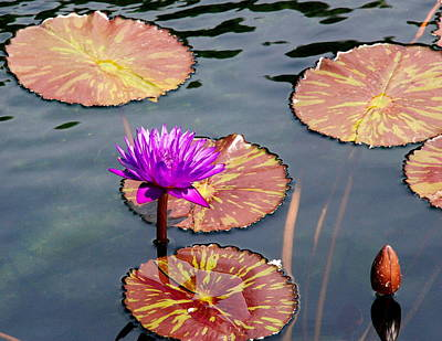 Photograph - Water Lily 002 by Larry Ward