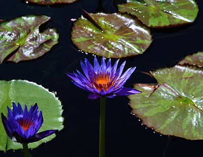 Photograph - Water Lily 004 by Larry Ward