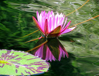 Photograph - Water Lily 006 by Larry Ward