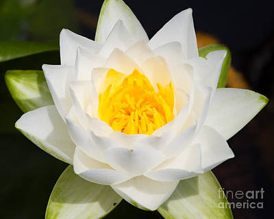 Photograph - Water Lily-01 by Dale Nelson