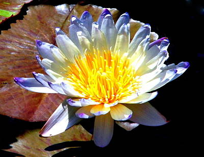 Photograph - Water Lily 010 by Larry Ward