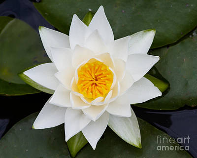 Photograph - Water Lily-02 by Dale Nelson