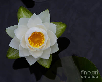 Photograph - Water Lily-03 by Dale Nelson