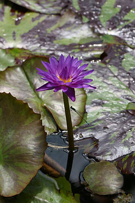 Photograph - Water Lily 11 And Guest by Allen Beatty