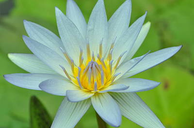Photograph - Water Lily 14 by Allen Beatty
