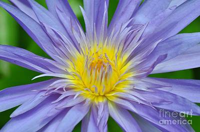 Photograph - Water Lily 16 by Allen Beatty