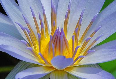 Photograph - Water Lily 18 by Allen Beatty