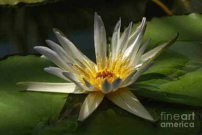 Art Print featuring the photograph Water Lily 2 by Rudi Prott