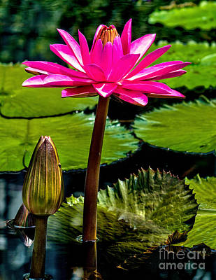 Photograph - Water Lily 2014-11 by Nick Zelinsky