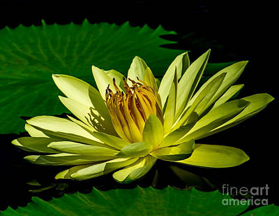 Photograph - Water Lily 2014-14 by Nick Zelinsky