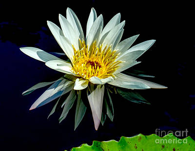 Photograph - Water Lily 2014-15 by Nick Zelinsky