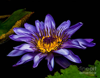 Photograph - Water Lily 2014-2 by Nick Zelinsky