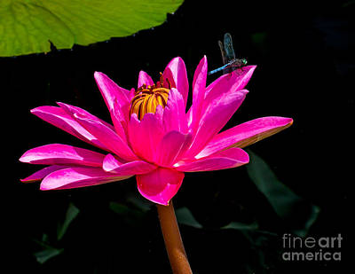 Photograph - Water Lily 2014-7 by Nick Zelinsky