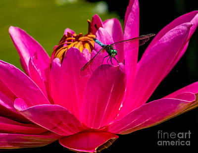 Photograph - Water Lily 2014-9 by Nick Zelinsky