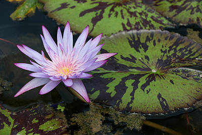 Photograph - Water Lily 23 by Allen Beatty