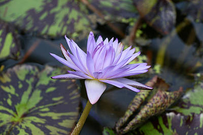 Photograph - Water Lily 24 by Allen Beatty