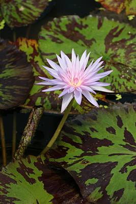 Photograph - Water Lily 26 by Allen Beatty
