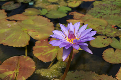 Photograph - Water Lily 27 by Allen Beatty
