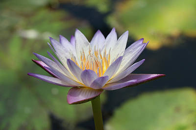 Photograph - Water Lily 28 by Allen Beatty