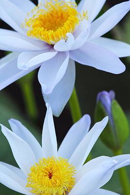 Flower Photograph - Water Lily 2am-005264 by Andrew McInnes