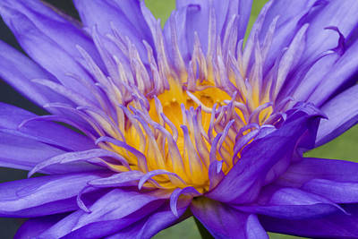 Art Print featuring the photograph Water Lily 7 by David Lester