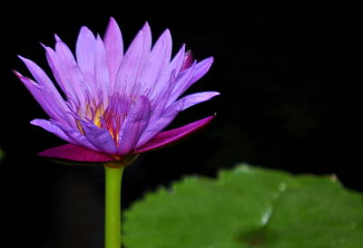 Photograph - Water Lily by AJ  Schibig